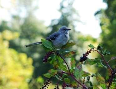 babymockingbird