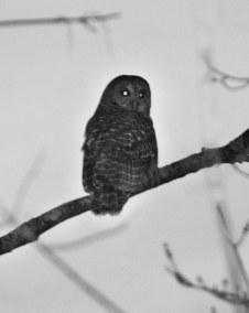 middleburg owl