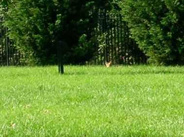 peek a boo fox