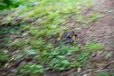 robin in a hurry