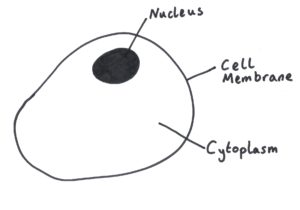 animal cell nucleus cell membrane cytoplasm eukaryote