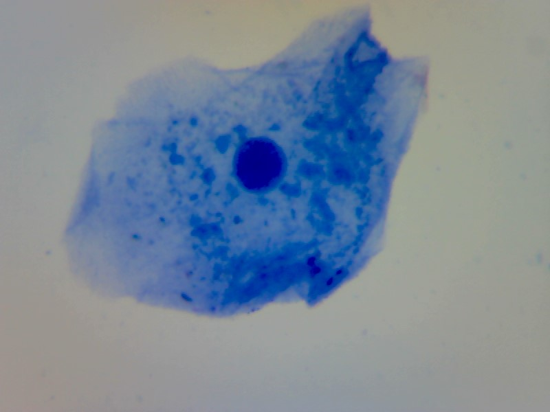 human cheek cell animal cell x400 eukaryote microscopy methylene blue