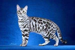 Snow Bengal cat type