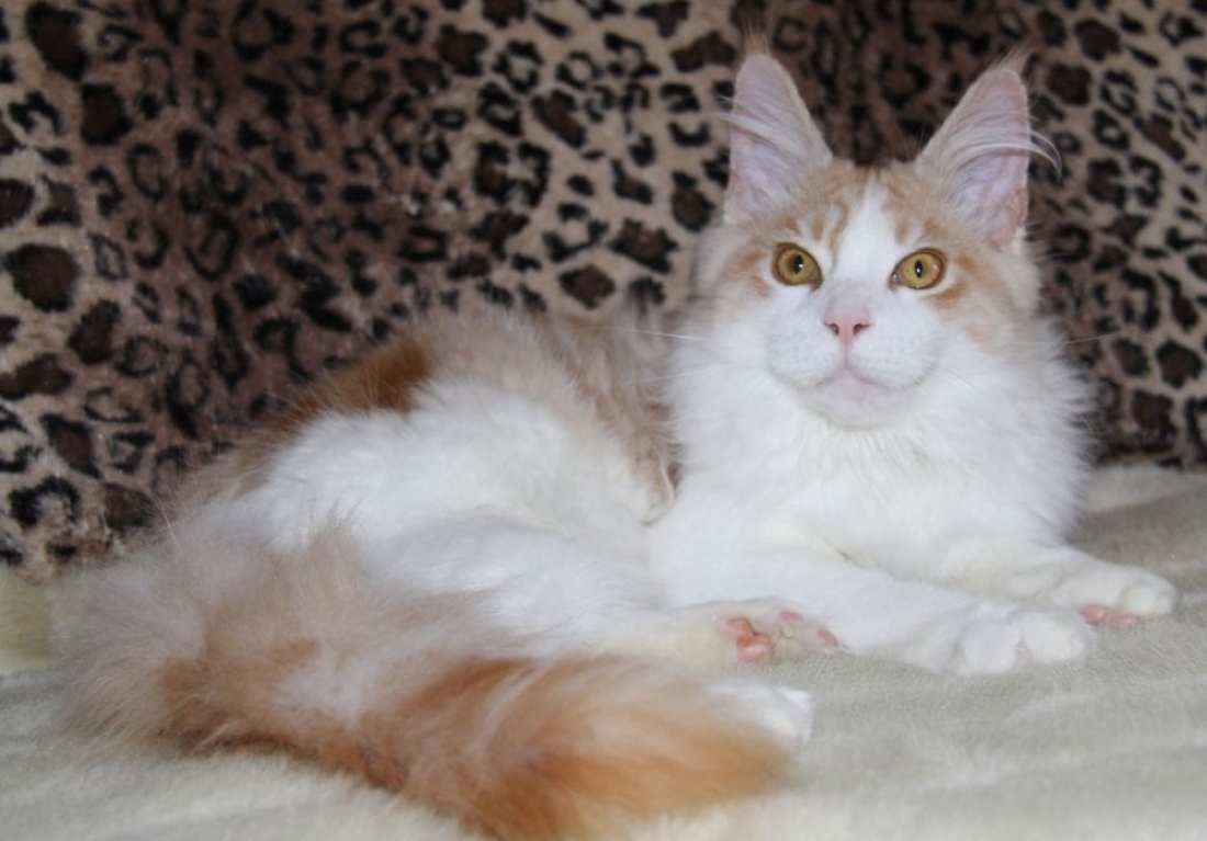 breed-highlight-maine-coon