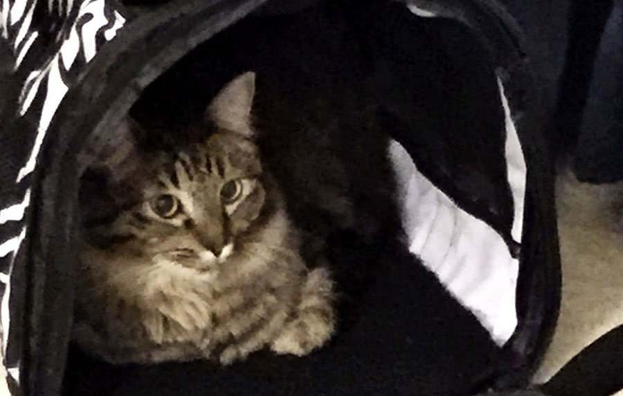 Grey tabby sitting in open soft-sidd cat carrier