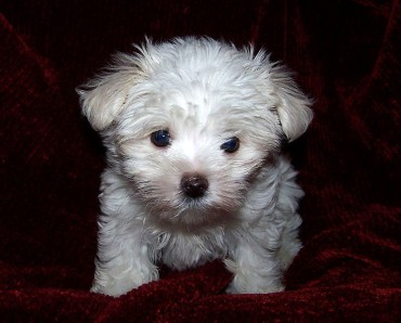maltese-puppy-by-wikimedia-commons