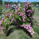 fleur-rosier2