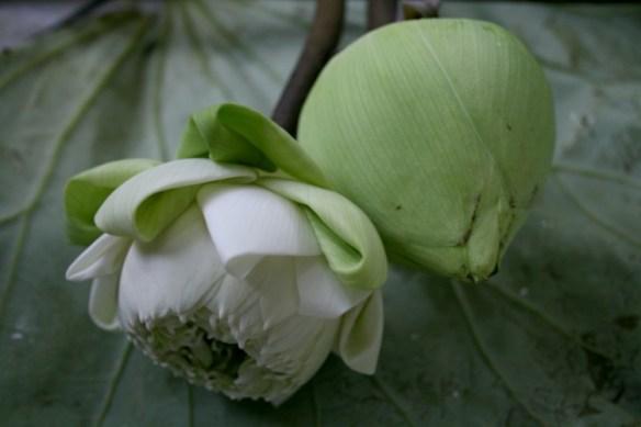 folded lotus