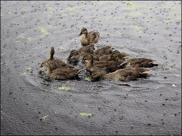 ducks-on-the-dam