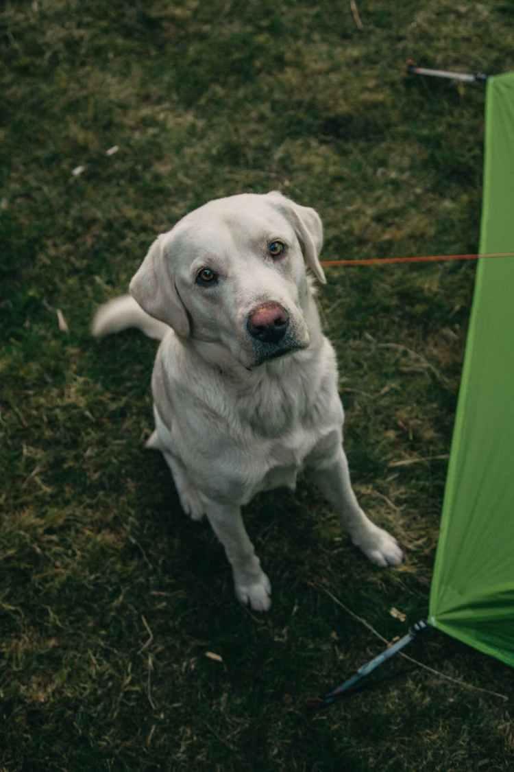 loyal purebred dog sitting near tent at campsite