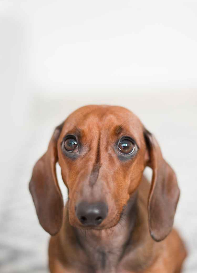 closeup photo of brown dachshund