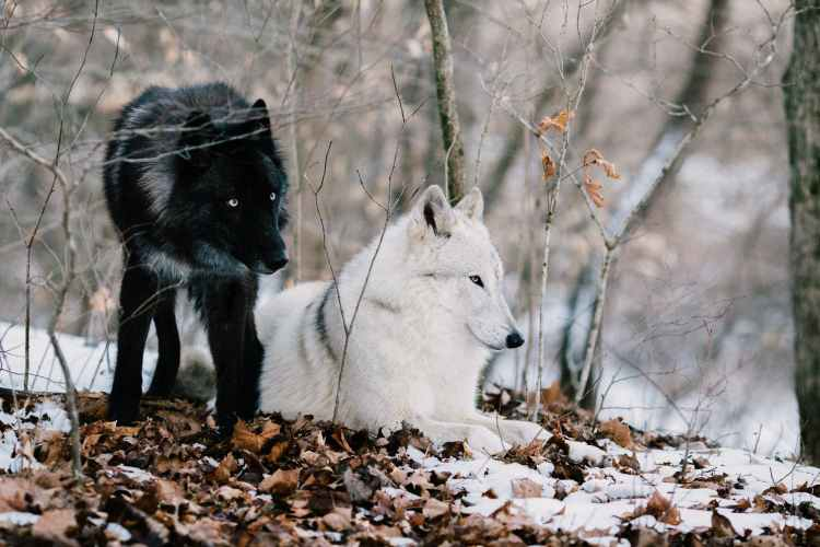 white wolf on brown dried leaves