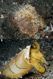 Cuttlefish Camouflage - (Photographer: Nick Hobgood)