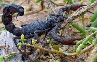 Arabian Fat Tailed Scorpions