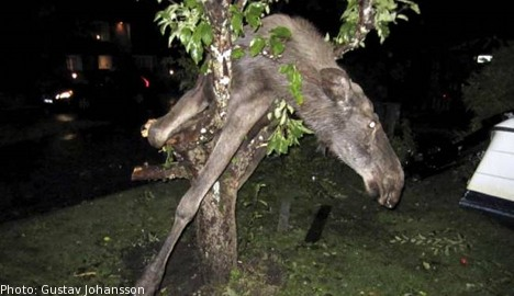 drunk elk