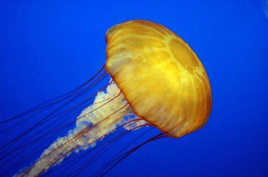 pacific-sea-nettle
