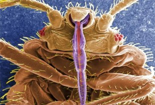 bed bug mouth fascicle