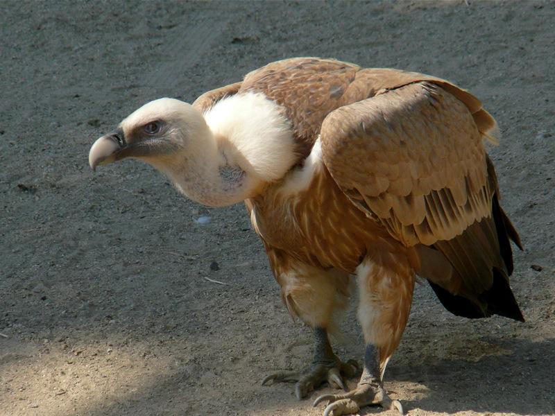 11.falling-griffon-vulture