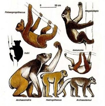 archaeoindris giant lemur megafauna madagascar