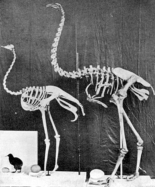 kiwi-ostrich-moa