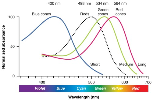 rods-cones-sensitivity