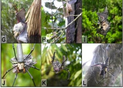 spider-bat-predation