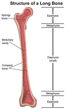 bone-structure