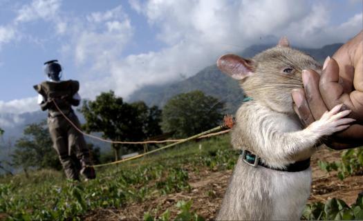 landmine-rats