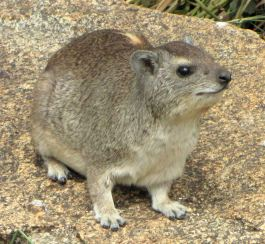 Yellow-spotted_Rock_Hyrax