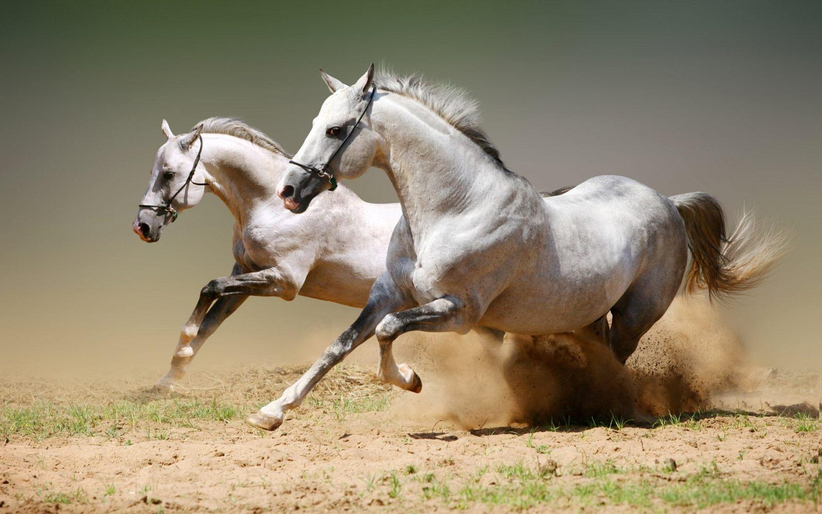 https://i1.wp.com/cavalos.animais.info/Imagens/cavalos-arabe.jpg