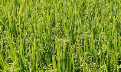 Brasil exporta 487 mil t de arroz beneficiado no ano comercial 2019/202. 0Maior volume embarcado nos últimos quatro anos.