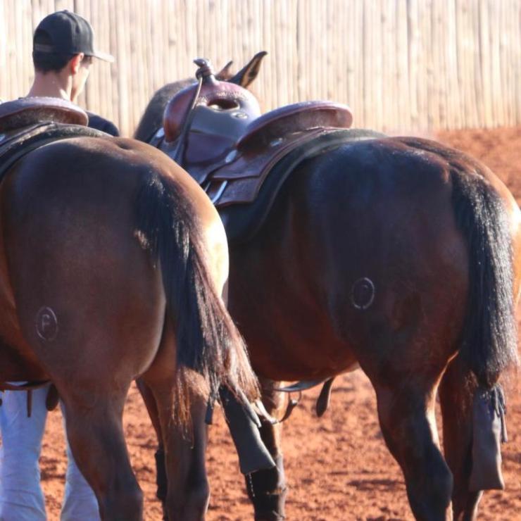O protetor de cauda dos cavalos é um item indispensável a fim de evitar nós ou acúmulo de sujeira. Os cuidados variam de acordo com a rotina