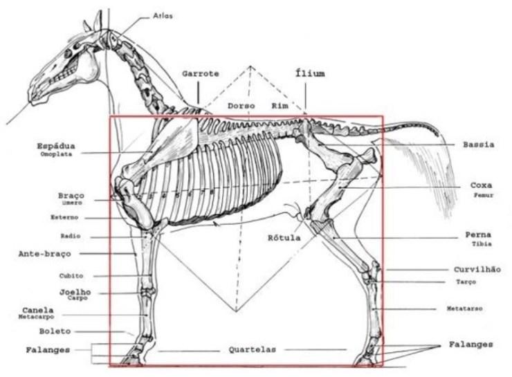 Um animal funcional - cavalos - tem uma boa conformação, um bom equilíbrio e proporções adequadas para seu bom desempenho.