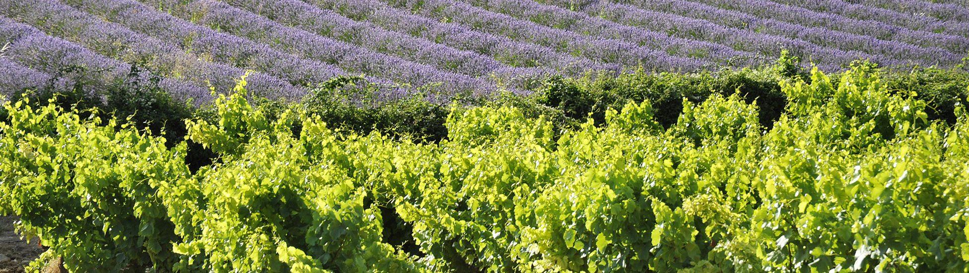 Vignes et lavandes