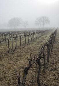 Vignes sous la brume