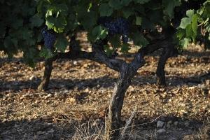 vigne-barjac-cep