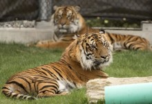 Photo of إصابة نمر في حديقة حيوانات أمريكية بفيروس كورونا