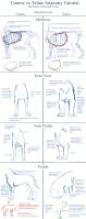 canine_v_feline_chest_anatomy