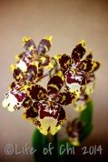 Colmanara Wildcat: Hybrid from the oncidium alliance. Large, scented (sometimes, at least) flowers with cool drawings.