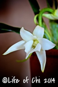Angraecum magdalenae: It's impossible to not fall for Magdalena's amazing scent. One flower fills a whole house. I would bottle it, and use it as a perfume.