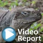Blue iguanas' fight for survival hangs in balance