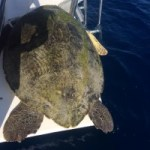 Rescued turtle killed in failed illegal catch
