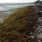 Seaweed bloom could decline next month
