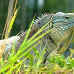 Green iguanas top suspects in blues' death
