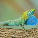 Visiting scientist studies invasive threat to local anole