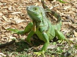 green iguana, Cayman News Service