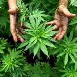 Legalise ganja, says regional commission