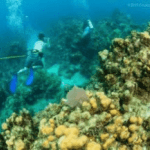 Verdant: moving coral won't fully mitigate impact