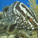 Grouper conservation an official success
