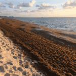 DoE predicts bad year for sargassum
